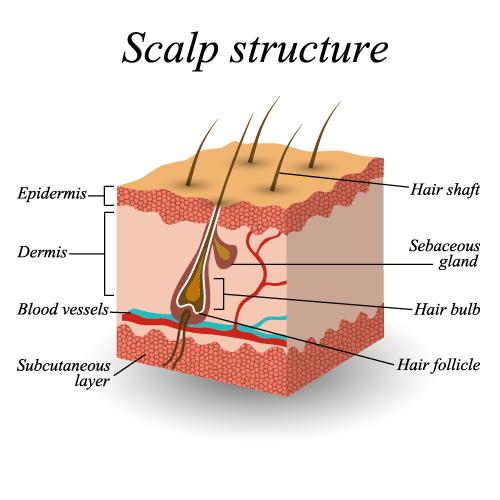 scalp structure