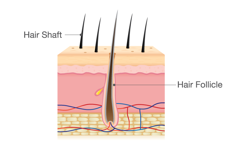 hair-shaft_follicle